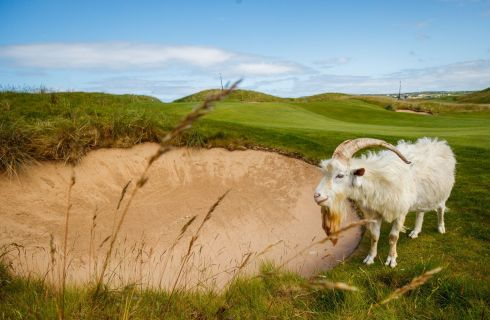 TRIMMING THE GREEN: A goat grazes by the 15th green ahead of the Dubai Duty Free Irish Open previews, at Lahinch Golf Club, Co Clare. Photograph: Oisin Keniry/Inpho