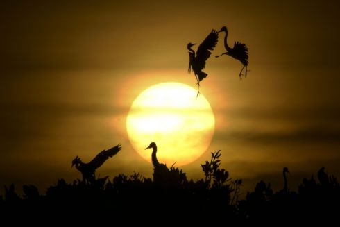 EXOTIC DANCE: Egret birds take flight as others rest on the top of mangrove trees at sunset at Kajhu beach, Aceh province, Indonesia. Photograph: Chaideer Mahyuddin/AFP/Getty