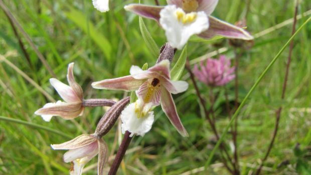A Bull Island July speciality: the marsh helleborine. Photograph: Paddy Woodworth