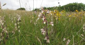 Field of visions: marsh helleborines flourishing in the Alder Marsh on Bull Island in July. Photograph: Paddy Woodworth