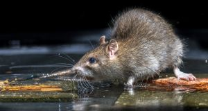 The rat pictured is not the actual Leinster House rat, which remains at large. Photograph: iStock