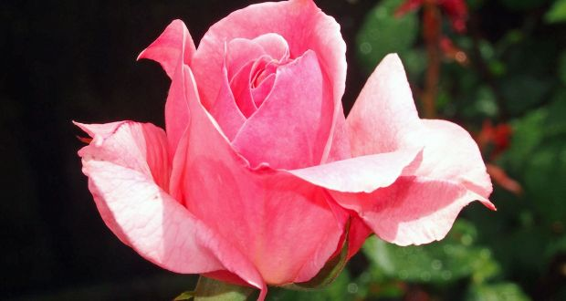 A blooming rose with one reader's cup of tea made her #IrishTimesHappy. Photograph: istock