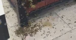 Some of the bees outside the Wildberry Cafe in Limerick, filmed on Tuesday evening by cafe manager Angelina Brodziak.