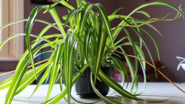 'It's impossible to kill a spider plant' – or is it? Photograph: Crispin Rodwell