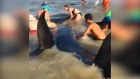 Beachgoers work together to save pod of beached pilot whales