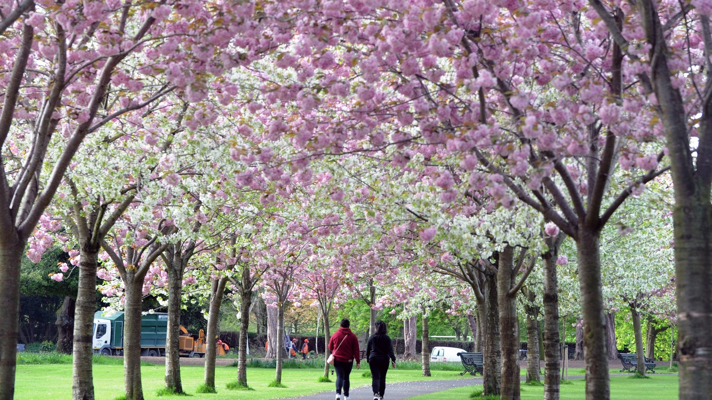 Cherry blossom trees planted 'in silly places' being cut down in Dublin