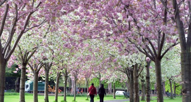 Cherry Blossom Trees Planted In Silly Places Being Cut Down In