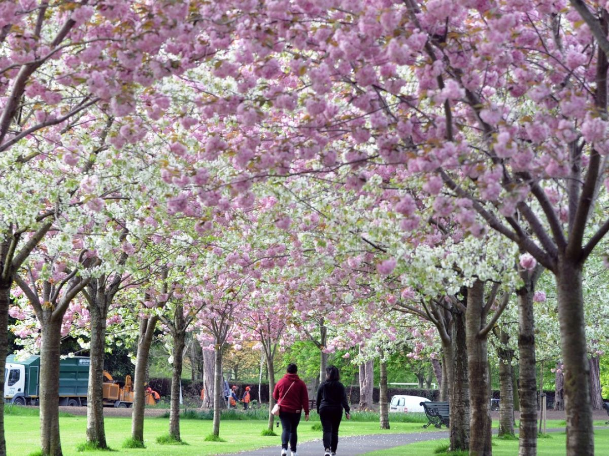 Cherry Blossom Trees Planted In Silly Places Being Cut Down In Dublin