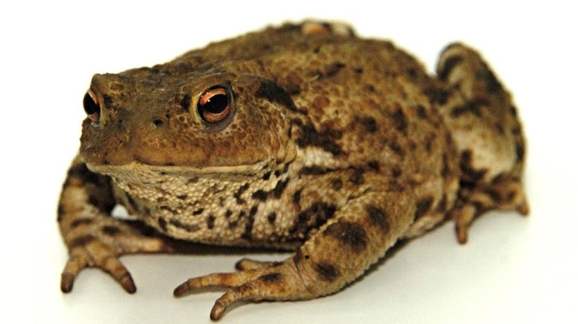 First toad captured in garden in south Dublin following public appeal