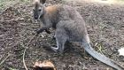 Dora the Explorer - the wandering wallaby - is home safe and sound after being found near Kilworth village in North Cork.
