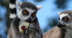 ANIMAL WELFARE: Tayto Park's ring-tailed lemurs enjoy some fruit popsicles as temperatures soared across Ireland. Photograph: Crispin Rodwell/The Irish Times