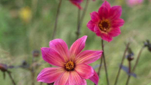Single-flowered dahlias are great for pollinating insects. Photograph: Richard Johnston