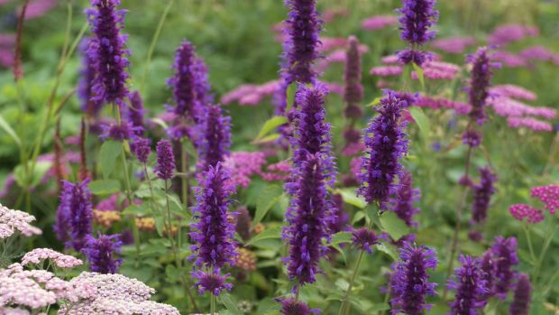 Agastache 'Blue Boa'. Photograph: Richard Johnston
