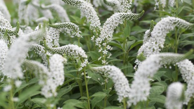 Lysimachia clethroides. Photograph: Richard Johnston