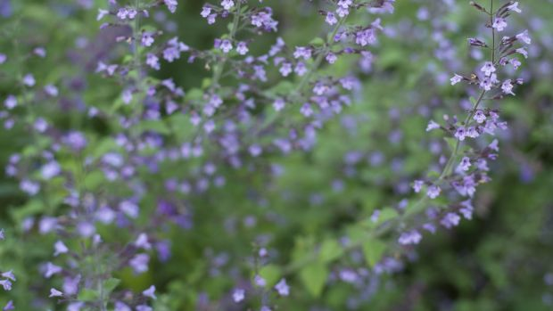 Calamint 'Blue Cloud'. Photograph: Richard Johnston