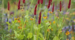 Persicaria ampexicaulis 'fat Domino'.  Photograph:  Richard Johnston