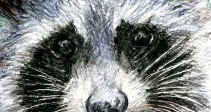 The behaviour of raccoons is not that different from that of Ireland's native pine martens. Illustration: Michael Viney