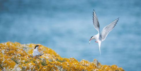 Arctic Tern chicks take flight from the Dalkey Island off the coast of Co Dublin for the first time