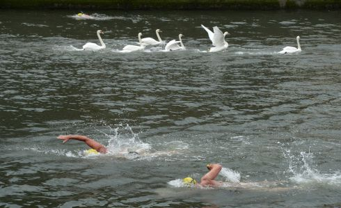 Swans on the Liffey during the 100th Dublin City Liffey Swim. Photograph: Dara Mac Donaill