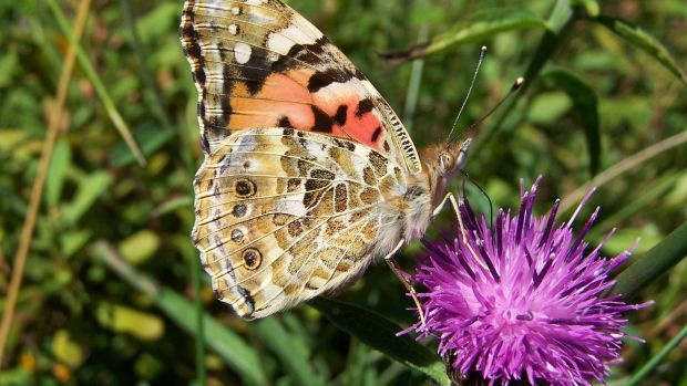 A painted lady butterfly pictured in Killarney, Co Kerry. Photograph: Supplied by Jesmond Harding