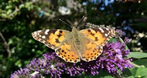 A painted lady butterfly pictured in a garden  near Cabinteely, Co Dublin last Friday.  A total of 12 painted ladies were seen nectaring on a buddleja bush at the time. Photograph: Niall Keogh