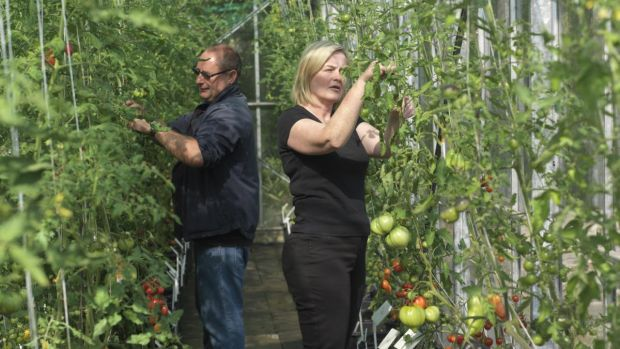 National Botanic Gardens gardeners Michael Higgins and Aisling O'Donoghue tending to tomato plants. Photograph: Richard Johnston