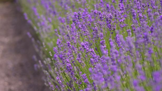 Trim lavender plants once the flowers have faded to keep them bushy and compact. Photograph: Richard Johnston
