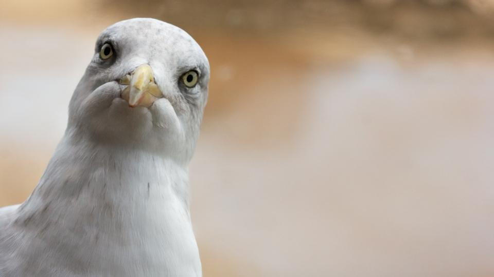 Stare down seagulls to protect your food, scientists say