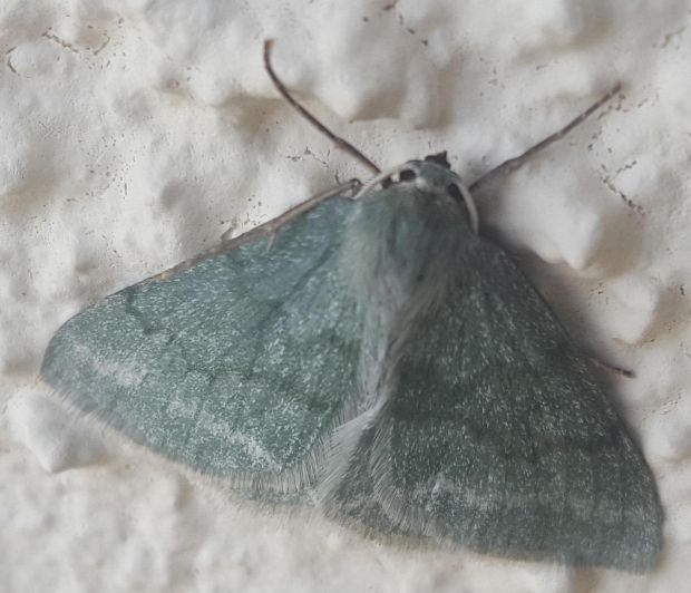 The grass emerald moth is found usually on moorland and damp scrubby grassland.
