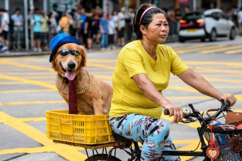 FUN RIDE: A cyclist enjoys relative calm on the streets with her dog ahead of another round of political protest in Sham Shui Po, Hong Kong. The city has seen a tenth successive weekend of demonstrations seeking democratic reform by the Chinese government. Photograph: Anthony Wallace/AFP/Getty