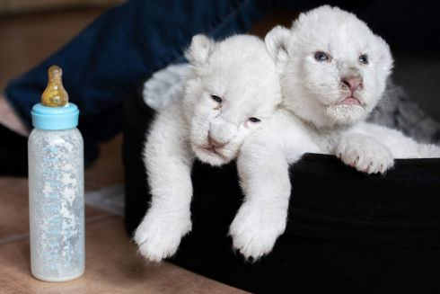 MILKY WHITE: Newborn white lion cubs rest after drinking milk from a nursing bottle, at Caresse de Tigre, La Mailleraye-sur-Seine, northwestern France. The cubs, named Nala and Simba, were born at the end of July. Photograph: Lou Benoist/AFP/Getty