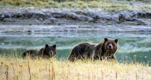 A grizzly bear mother and her cub walk near Pelican Creek in the Yellowstone National Park, Wyoming. File photograph: Karen Bleier/AFP/Getty Images