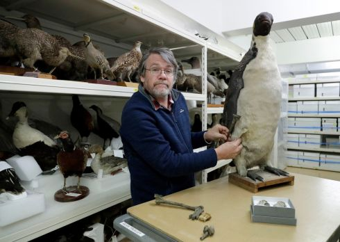 MONSTER PENGUIN: Dr Paul Scofield, senior curator natural history at Canterbury Museum, holds the fossil, a tibiotarsus (top) next to a similar bone of an Emperor Penguin in Christchurch, New Zealand. Scientists in New Zealand say they've found fossilized bones from an extinct monster penguin that was about the size of a human and swam the oceans some 60 million years ago. Photograph: Mark Baker/AP