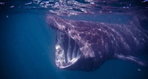 There are 71 species of shark in Irish waters. Photograph: iStock
