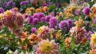 Dahlias: Dahlias are notorious for the ease with which the tubers of different varieties can accidentally get mixed-up. Photograph: Getty