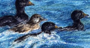 Scoter sea ducks. Illustration: Michael Viney