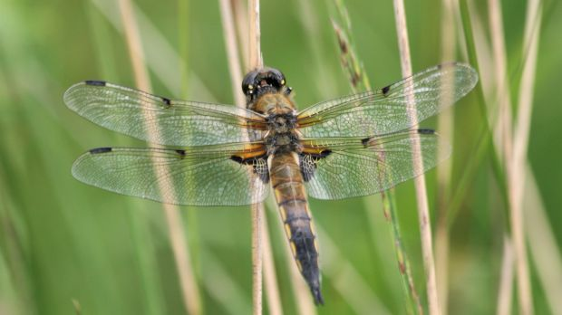 Four-spotted Chaser (Libellula quadrimaculata); mostly seen on small natural lakes, sometimes seen breeding in slow-moving rivers and canals. Very active dragonflies, seen hawking for insect prey over water. Photograph: Dave Wall