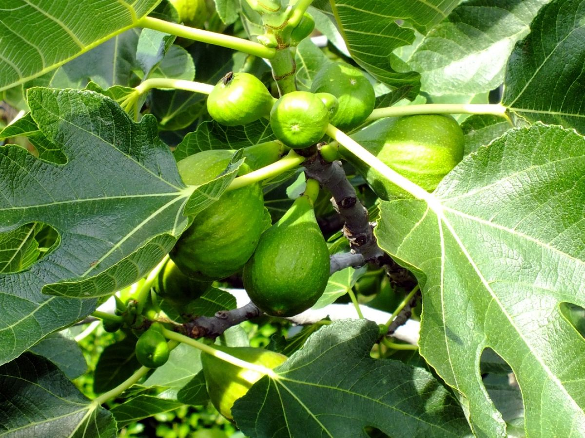 Figs Are In Season Here S How To Grow Your Own