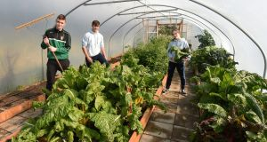 Shane Crumlish (16), Stephen Havlin (17) and Danielle McDermott (16) of Moville Community College, Co Donegal,  have been growing vegetables in the school's polytunnel. Photograph: Trevor McBride
