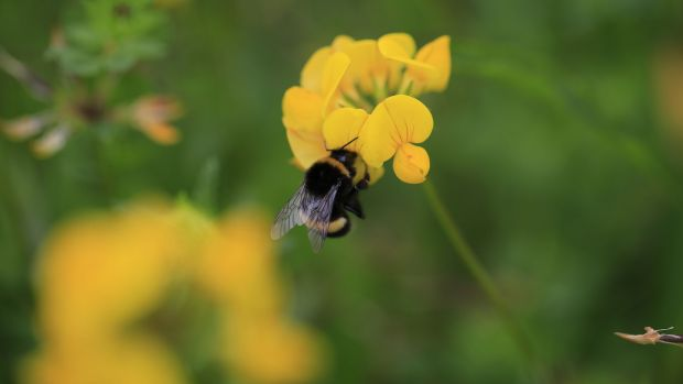A bee chases some nectar on a Bird's-foot trefoil in Cabinteely Park, Co Dublin. Photograph: Nick Bradshaw