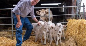 Patrick Howard, in Currow, Co Kerry, with the four calves. One of the quintupelets  died at birth. Photograph: Dominick Walsh