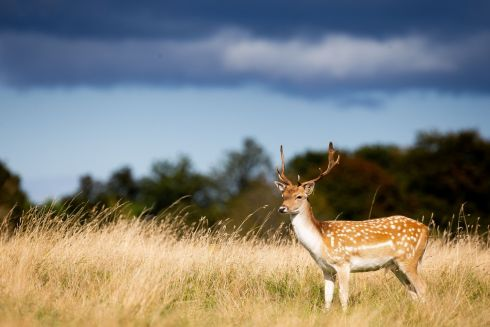 HIGH AND MIGHTY: A stag takes a look from amid the long grass at the Phoenix Park, Dublin. Photograph: Tom Honan