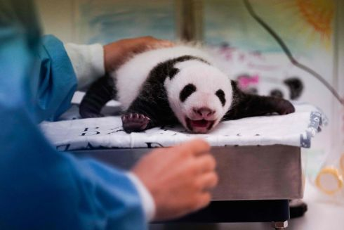 CUDDLY BEAR: A baby panda, weighing 1.4kg - one of twin baby giant pandas born in August - at the Pairi Daiza animal park, in Brugelette, Belgium. Such twin births are exteremely rare. Photograph: Kenzo Tribouillard/AFP/Getty