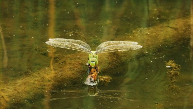 Waiting for a mate: a green-form female emperor dragonfly (blue-green is more common) finds a perch on a pond at Raven Point. Photograph: Zoe Devlin