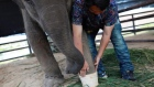 Amputee baby elephant moved to a new home in Thailand