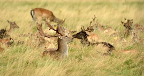 DEER TO THE GROUND: Deer and fawn in the Phoenix Park in Dublin. Photograph: Dara Mac Dónaill/The Irish Times