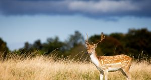 A deer pictured at the Phoenix Park this week. Photograph: Tom Honan