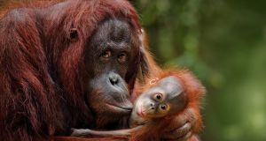 Orang-utan mother with child in nature. Production of palm oil is a leading cause of the loss of half of the world's orangutans.