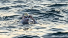 Cancer survivor is first to swim across English Channel four times non-stop