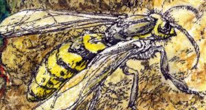 Viney drawing for September 28 - wasp on windfall apple. Illustration: Michael Viney
